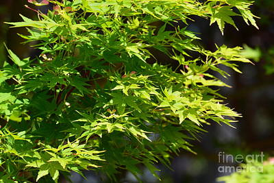 Photograph - Green Maples by Maria Urso