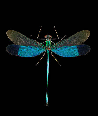Photograph - Green Metalwing Damselfly by Gary Shepard
