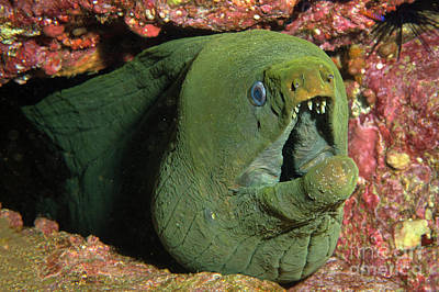 Photograph - Green Moray by Aaron Whittemore