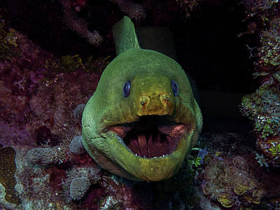 Photograph - Green Moray by Mauricio Riquelme