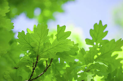Photograph - Green Oak Leaves Ad Blue Sky by Jenny Rainbow