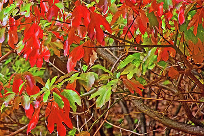 Photograph - Green Sassafras Leaves Turning Red Along Trail To North Beach Park In Ottawa County, Michigan by Ruth Hager