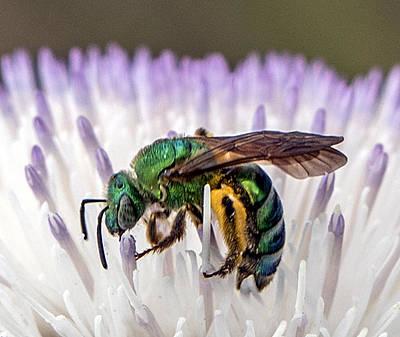 Green Orchid Bee Art Print