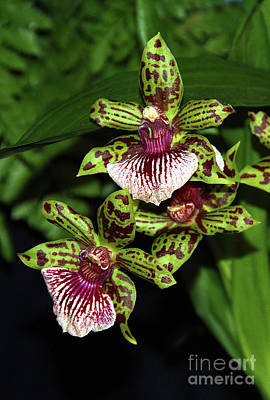 Photograph - Green Orchids by Judi Bagwell