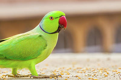 Indian Photograph - Green Parrot In India by Nila Newsom