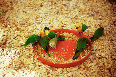 Green Parrot On Sawdust Eat Millet With Red Bowls Art Print by Jozef Klopacka