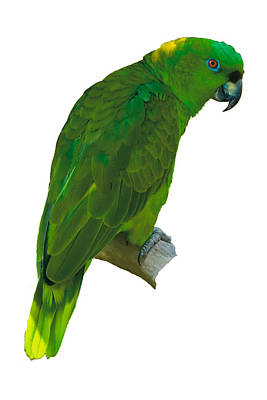 Green Parrot On White  Art Print