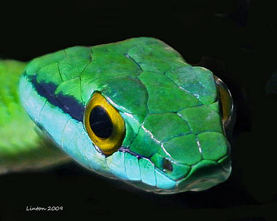 Snake Photograph - Green Parrot Snake by Larry Linton