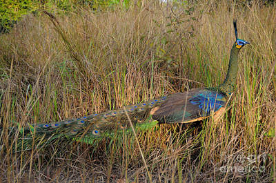 Poacher Photograph - Green Peafowl, Cambodia by Fletcher & Baylis