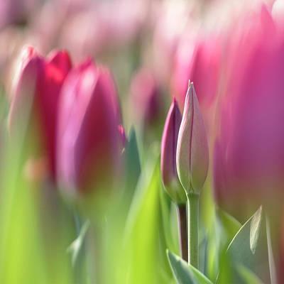 Photograph - Green Pink Wall Art - Spring Tulips Keukenhof Flower Garden Photography Art Print by Artecco Fine Art Photography