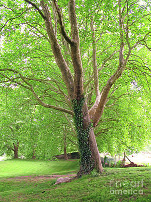 Photograph - Green Platan Trees by Patricia Hofmeester