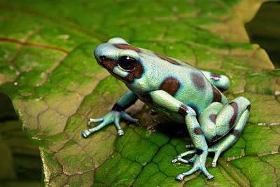 Frogs Photograph - Green Poison Arrow Frog by Dirk Ercken