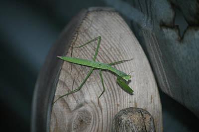 Photograph - Green Praying Mantis by Cathy Harper