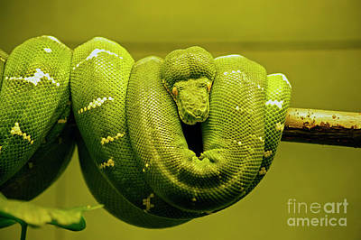 Photograph - Green Python by Elaine Mikkelstrup