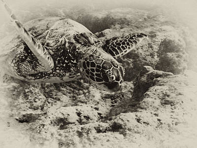 Green Sea Turtle Photograph - Green Sea Turtle 3 by Michael Peychich