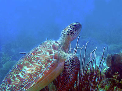 Photograph - Green Sea Turtle 3 by Pauline Walsh Jacobson