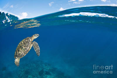 Honu Photograph - Green Sea Turtle At Surface by Dave Fleetham - Printscapes