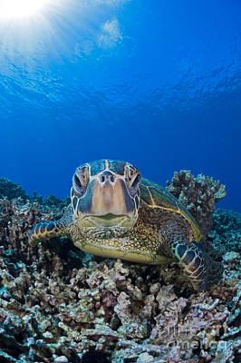 Niihau Hawaii Photograph - Green Sea Turtle  Chelonia Mydas , An by Dave Fleetham