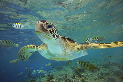 Underwater Photograph - Green Sea Turtle Chelonia Mydas by Tim Fitzharris