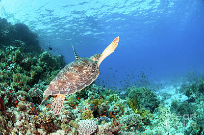 Mohammad Photograph - Green Sea Turtle by Hagai Nativ