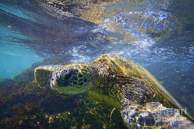 Hawaiian Honu Photograph - Green Sea Turtle In Makena by Ron Dahlquist - Printscapes