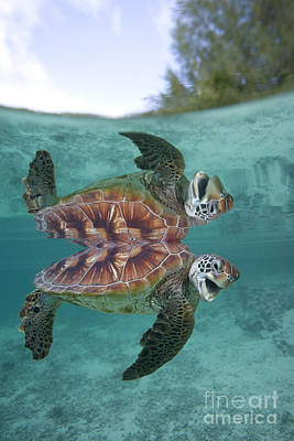 Chelonian Photograph - Green Sea Turtle by Jean-Louis Klein & Marie-Luce Hubert