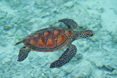 Undersea Photograph - Green Sea Turtle by Mako photo