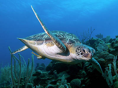 Photograph - Green Sea Turtle by Mauricio Riquelme