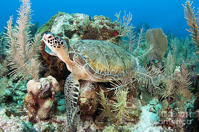 Photograph - Green Sea Turtle On Caribbean Reef by Karen Doody