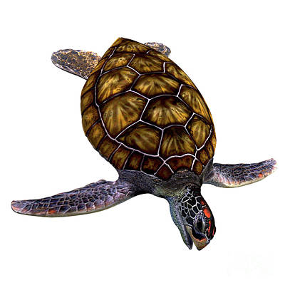 Green Sea Turtle On White Art Print by Corey Ford