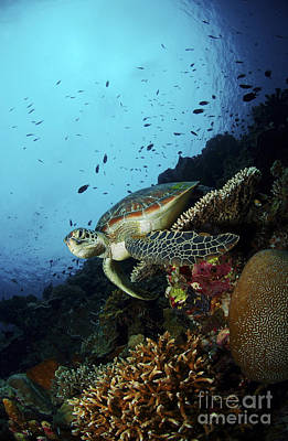 Photograph - Green Sea Turtle Resting On A Plate by Mathieu Meur