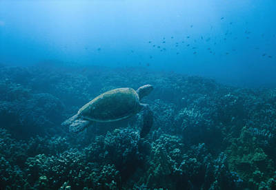 Green Sea Turtle Photograph - Green Sea Turtle Swimming Over Coral by James Forte