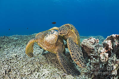 Green Sea Turtle Photograph - Green Sea Turtles  Chelonia Mydas , An by Dave Fleetham