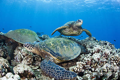 Honu Photograph - Green Sea Turtles by Dave Fleetham - Printscapes