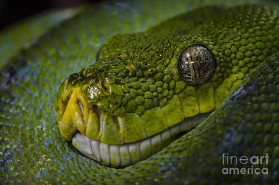 Photograph - Green Snake by Andrea Silies