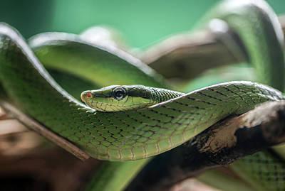 Photograph - Green Snake On The Branch by Jaroslaw Blaminsky