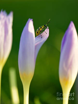 Cucumber Beetle Photograph - Green Spotted Beetle And Crocuses by R Morrison