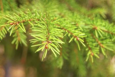 Green Spruce Branch Art Print by Anton Kalinichev