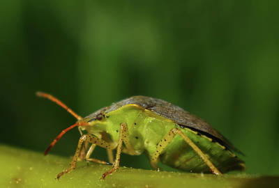 Photograph - Green Stink Bug by Adria Trail
