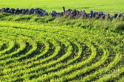 Photograph - Green Sunlit Corn Rows by Kennerth and Birgitta Kullman