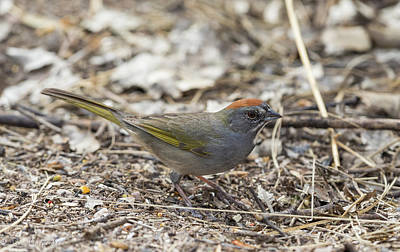 Photograph - Green-tailed Towhee by Dee Carpenter