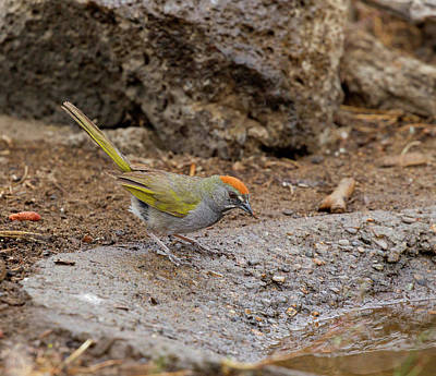 Photograph - Green-tailed Towhee by Doug Lloyd