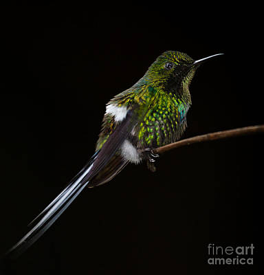 Green Thorntail Photograph - Green Thorntail by Michael Trahan
