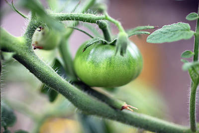 Photograph - Green Tomato by Jamie Johnson