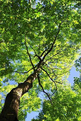 Photograph - Summer Tree Canopy by Christina Rollo