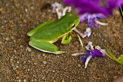 Photograph - Green Tree Frog And Flowers by Douglas Barnett