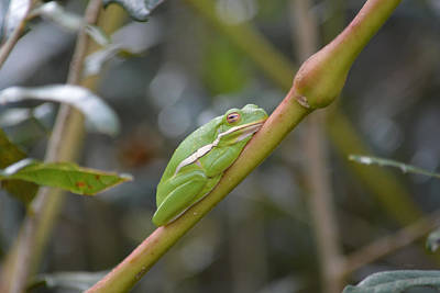 Photograph - Green Tree Frog - Don't Bother M by rd Erickson