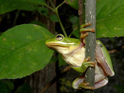 Photograph - Green Tree Frog II by Griffin Harris