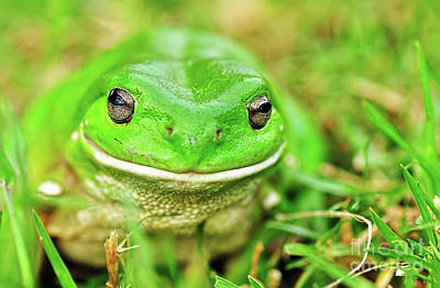 Photograph - Green Tree Frog by Kaye Menner