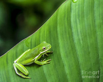 Photograph - Green Tree Frog by Ken Frischkorn